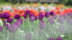 Tulip flowers on background of green meadow. Stock Footage
