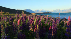 Beautiful purple flowers beside mountain lake, South Island, New Zealand Stock Footage