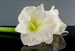 White amaryllis flower Stock Photos