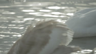 Stock Video Footage of Swan Close up on Cygnet Wings