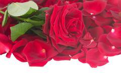 Fresh crimson red rose with petals border Stock Photos