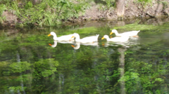 Duck, Duck, Goose. Ducks and goose swimming in water Stock Footage