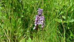 Heath Spotted Orchid (dactylorhiza maculata) Stock Footage