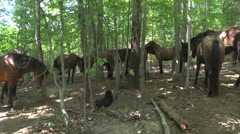 Herd of horses and a dog in the woods Stock Footage