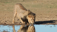 Stock Video Footage of African lion drinking