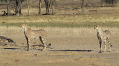 Alert Cheetahs Stock Footage