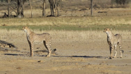 Stock Video Footage of Alert Cheetahs
