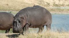 Hippo (Hippopotamus amphibius), Sabie-Sand nature reserve, South Africa Stock Footage