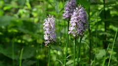 Moorland Spotted Orchid (dactylorhiza maculata) Stock Footage