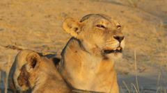 Snarling lioness Stock Footage
