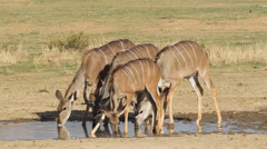 Kudu antelopes drinking Stock Footage