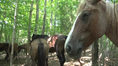 Herd of horses in the woods PAN Stock Footage