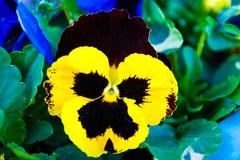 Stock Photo of pansy viola tricolor flower