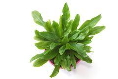 fresh culantro,sawtooth coriander - eryngium foetidum - stock photo