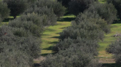 Olive plantation agriculture lines of trees hot day Greece Stock Footage