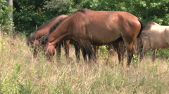 Horses grazing in the sunlight MS Stock Footage
