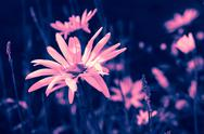 Stock Photo of dreamy pink daisies