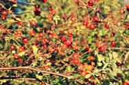Stock Photo of hawthorn berries background