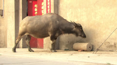 Cattle in rural China Stock Footage
