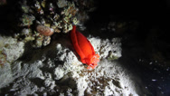 Stock Video Footage of Spanish Dancer hexabranchus sanguineus nudibranch night underwater