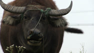Stock Video Footage of A large bull in rural China