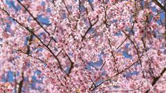 Pink sakura blossom flowers Stock Footage