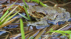 Male toad bufo mating season in water close up Stock Footage