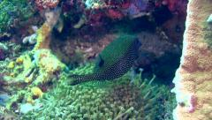 White-spot boxfish (Ostracion meleagris), female Stock Footage