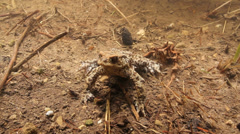 Male toad underwater aggressive pose swimming Stock Footage