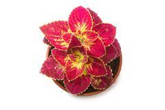 Coleus colorful foliage, houseplant Stock Photos