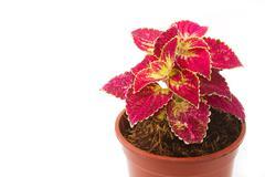 coleus colorful foliage, houseplant - stock photo