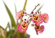 Stock Photo of pink  oncidium orchid