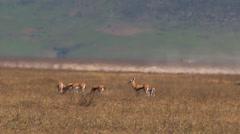 impalas play in Ngoroungoro park. - stock footage