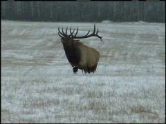 Famous Elk Walking Flehmen Stock Footage