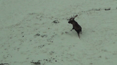 Large bull moose in Snow Moose Stock Footage