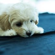 Cute poodle puppy Stock Photos