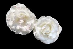white rose with pink polka dots - stock photo