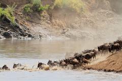 Wildebeest migration - stock photo
