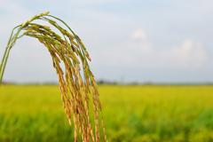 golden paddy at farmville - stock photo