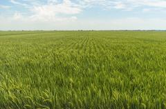 paddy field with blue skies - stock photo