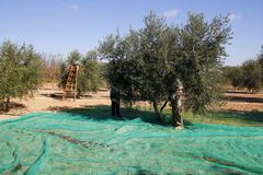 harvesting olives - stock photo