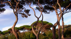 Tuscany, maritime pines Stock Footage