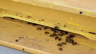 Stock Video Footage of Bees in the hive, efficient work, concept