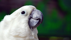 Close-up white cockatoo (Cacatua alba) Stock Footage