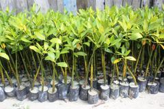 Seeding Mangrove in Pari Island Stock Photos