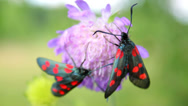 Stock Video Footage of Insects with red spots (Six-spot Burnet) on wild purple flower, macro