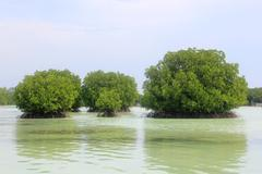 Mangrove in Beach of Pari Island - stock photo