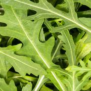 close-up on the heap of rucola - stock photo