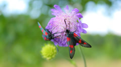 Insects with red spots (Six-spot Burnet) on wild purple flower, macro Stock Footage