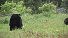 Newfoundland Large Black Bear Stock Footage